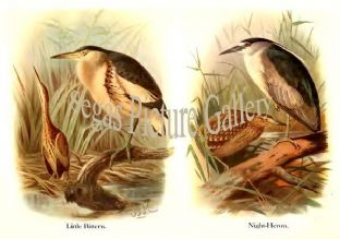 Little Bittern & Night-Heron